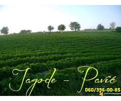 Plantaze Jagoda Pavic