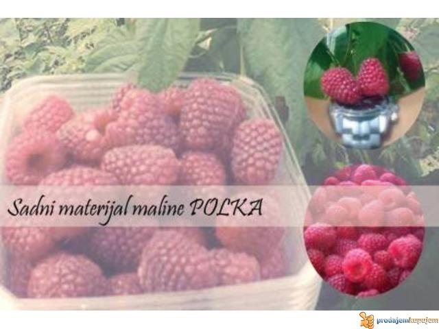 SADNICE MALINE POLANA I POLKA - 5/5
