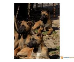 Na prodaju Belgijski ovčari Malinoa - Kraljevo - Slika 1/7