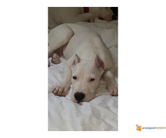 Vrhunsko štene Dogo Argentino