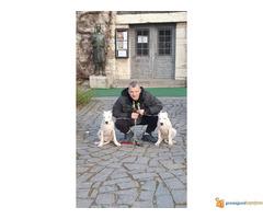Vrhunsko štene Dogo Argentino - Slika 4/6