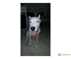 Vrhunsko štene Dogo Argentino - Slika 6/6