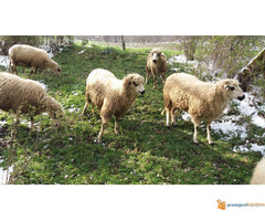 Prodajem Ovce - Slika 1/7