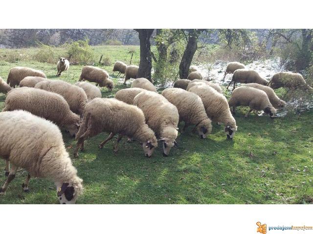 Prodajem Ovce - 2/7