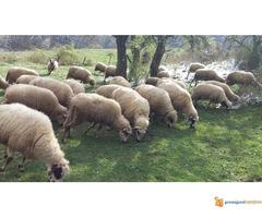 Prodajem Ovce - Slika 2/7