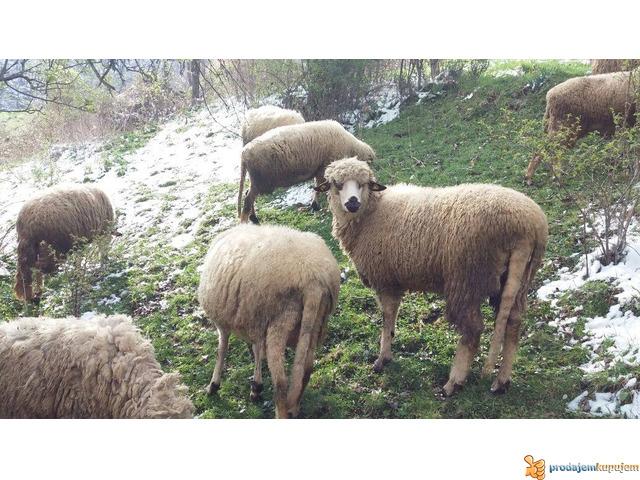 Prodajem Ovce - 3/7