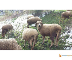 Prodajem Ovce - Slika 3/7