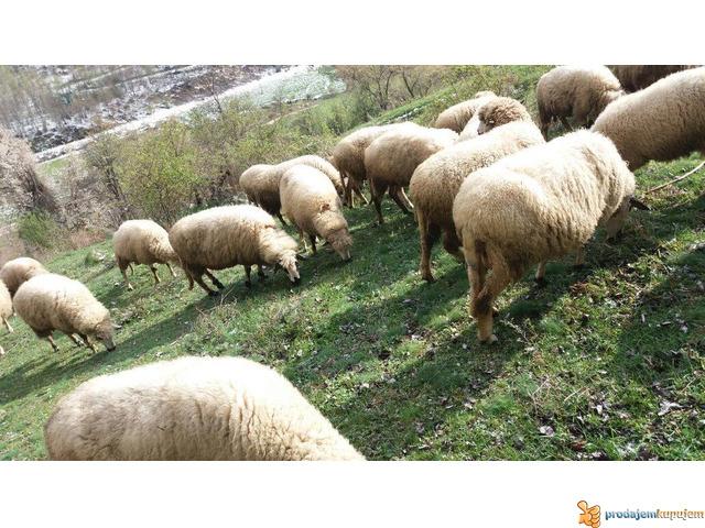 Prodajem Ovce - 4/7