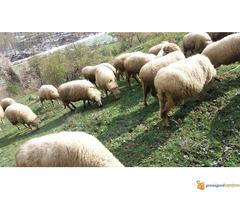 Prodajem Ovce - Slika 4/7