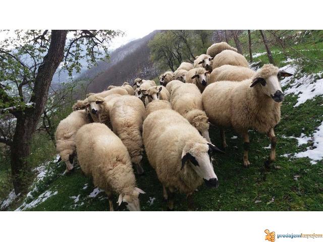 Prodajem Ovce - 5/7