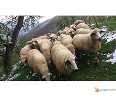 Prodajem Ovce - Slika 5/7