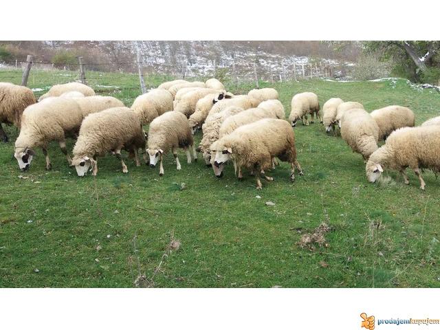 Prodajem Ovce - 6/7