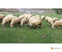 Prodajem Ovce - Slika 6/7