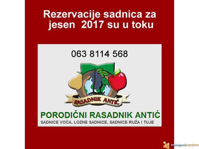 Odlična predprodaja sadnica voća - super cena - 1/2