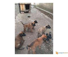 Belgijski ovcar malinoa stenci na prodaju - Slika 3/5