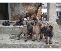 Belgijski ovcar malinoa stenci na prodaju - Slika 4/5