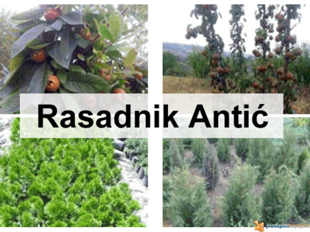 Sadnice voća - hit jesenja cena u Rasadniku Antić - 1/2