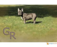 Stenci francuskog bulldoga