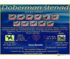 Doberman štenad na prodaju