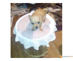 Prodaja štenaca čivave--povoljno